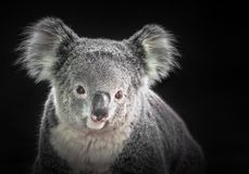 The face of a koala. royalty free stock images