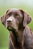 Face of Labrador Retriever dog Stock Image