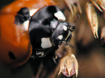 Face of ladybug stock photo