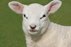 Face of a Lamb Royalty Free Stock Photo