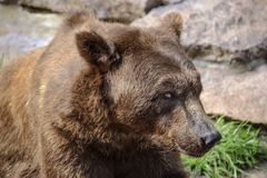 Face of a large brown bear close-up in nature. Face of a large brown bear close-up in nature royalty free stock image