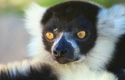 Face of lemur. Portrait. He looks surprised. royalty free stock photography