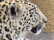 Face of a Leopard. Close-up picture of a leopard Stock Photography