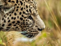 Leopard 3. The face of a leopard in the grass stock image