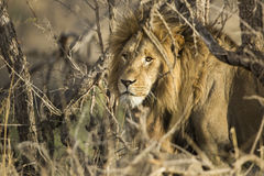 Face of a lion Stock Images