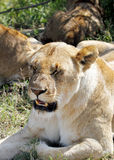 Face of a lioness Royalty Free Stock Photo