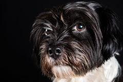Face of little dog black and white Royalty Free Stock Photography