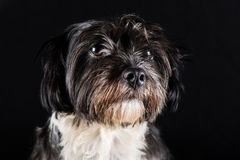 Face of little dog black and white Stock Image