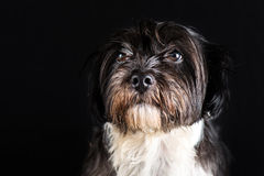 Face of little dog black and white Royalty Free Stock Images