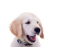 Face of a little golden lab Stock Photography