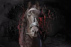 The face of a lovely Freesian horse. Portrait. Texture. royalty free stock image