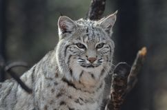 Face of a Lynx Bobcat. Amazingly alert face of a Canadian lynx in the wilderness Royalty Free Stock Photography