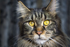 Face of maine coon cat Royalty Free Stock Photos