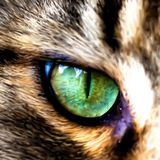 Face of Maine Coon cat showing one eye. Vector Royalty Free Stock Photos