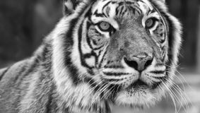 Face Of Majestic Big Bengal Tiger Stock Photography
