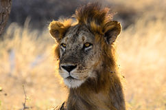 Face of a male lion with a suspect mane Royalty Free Stock Photos