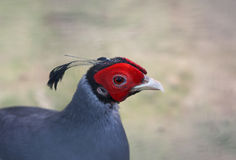 Face of male Siamese Fireback Royalty Free Stock Photography
