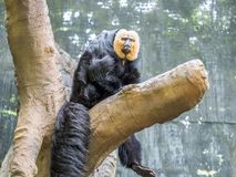 The face of a male White-faced Saki Royalty Free Stock Image