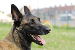 Face of a Malinois Belgian Shepherd dog attentive to orders with a lively and happy look. A face of a Malinois Belgian Shepherd dog attentive to orders with a Royalty Free Stock Photo