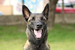 Face of a Malinois Belgian Shepherd dog attentive to orders with a lively and happy look. A face of a Malinois Belgian Shepherd dog attentive to orders with a Royalty Free Stock Photos