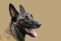 Face of a Malinois Belgian Shepherd dog attentive to orders with a lively and happy look. A face of a Malinois Belgian Shepherd dog attentive to orders with a Stock Photography