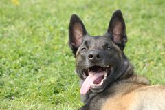 Face of a Malinois Belgian Shepherd dog attentive to orders with a lively and happy look. A face of a Malinois Belgian Shepherd dog attentive to orders with a Stock Photos