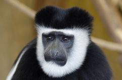 Face of Mantled guereza Royalty Free Stock Photo