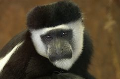 Face of Mantled guereza Stock Photography