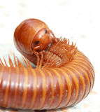 Face of Millipede Stock Photo
