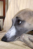 Face Of Mischievious Whippet Caught Lying On Furniture Royalty Free Stock Photo