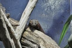 Face mongoose Royalty Free Stock Photo