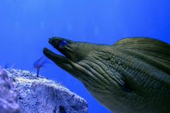 The face of a moray eel with an open mouth with teeth. In the aquarium royalty free stock photos