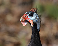 A face only a mother could love. Ginny Hen up close and personel Stock Photo