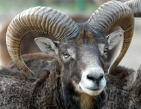 Face mouflon Stock Photo
