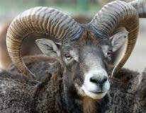 Face mouflon stock photo