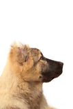 Face of mountain dog on white background Royalty Free Stock Photos
