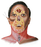 Face & Neck Dissection - Male Royalty Free Stock Photo