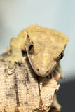 Face of a new Caledonian crested gecko Stock Photo