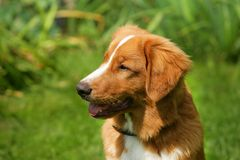 Face of a nova scotia duck tolling retriever dog in nature Stock Photo