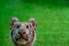 Face Of Young White Tiger