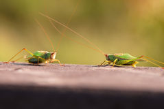 Face Off, Bug Style Royalty Free Stock Images