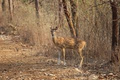 Face off with deer royalty free stock images