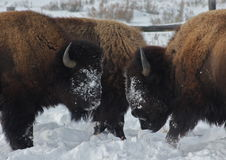 Face off. A dominant buffalo asserts its authority Stock Images