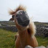 Face off. A horse grazing in the fields on the Aran Island, Ireland stock image