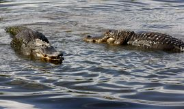 Face-Off. Two alligators face off against each other in the wetlands at Gatorland in Orlando, Florida Royalty Free Stock Image