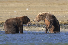 Face off. Two brown bear boars face off Stock Photography