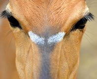 Face orange deer Royalty Free Stock Photos