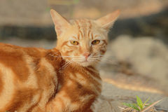 Face of orange fur cat looking to camera Royalty Free Stock Images