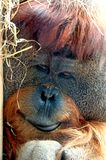 Face of Orangutan. Monkey in close up view Stock Photography