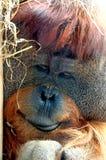Face of Orangutan Stock Photography